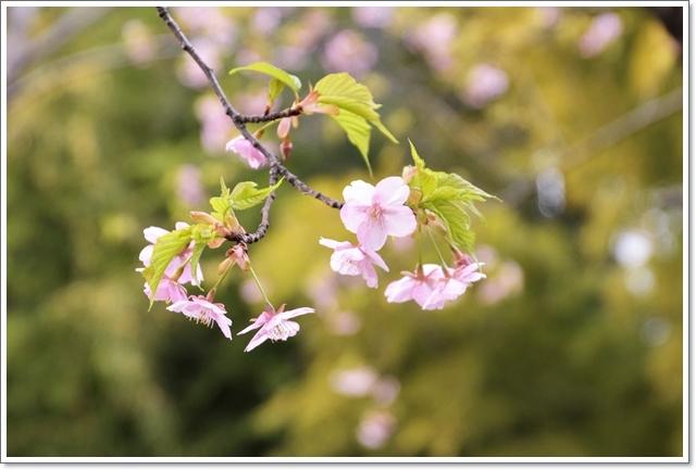 640DSC_6629河津桜 (2)