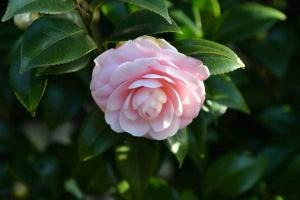 Camellia japonica 'Otome Tsubaki'