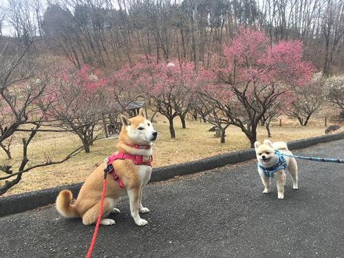 くうちゃんと梅見散歩8