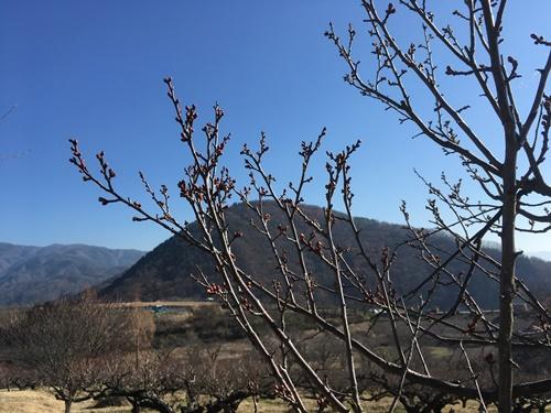 梅の里咲き始め1