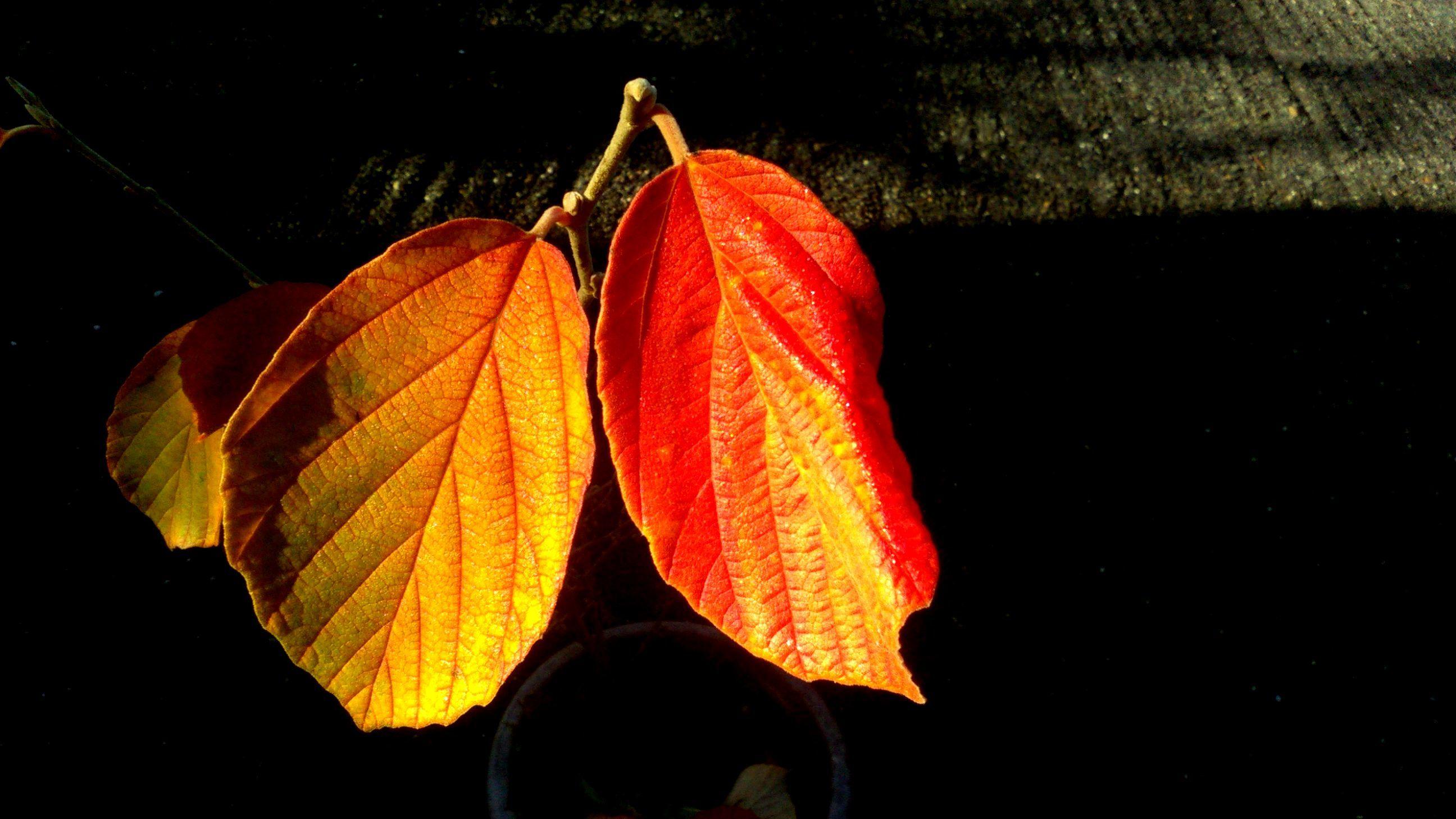 マンサク紅葉
