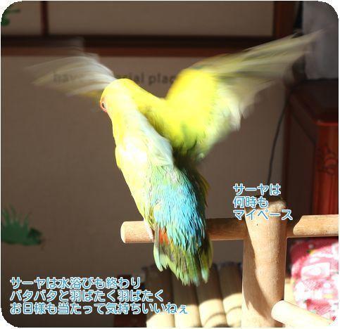 ⑤水浴び後の羽搏