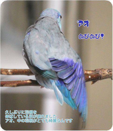 ②アオの羽根