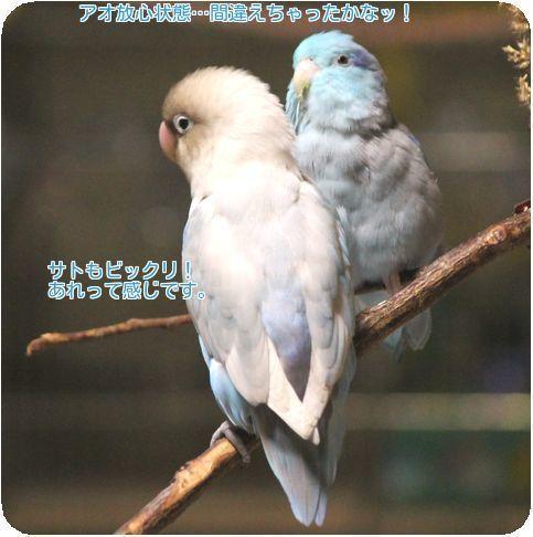 ④ムッ!羽繕い?