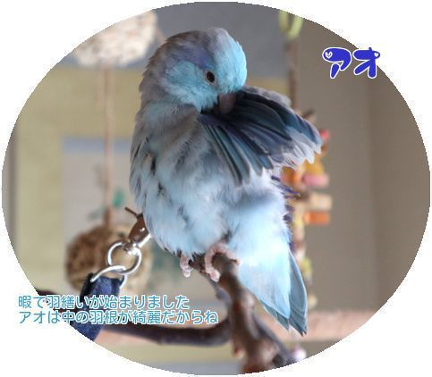 ⑥アオ羽繕い