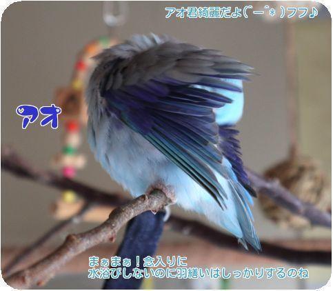 ⑦アオ羽繕い