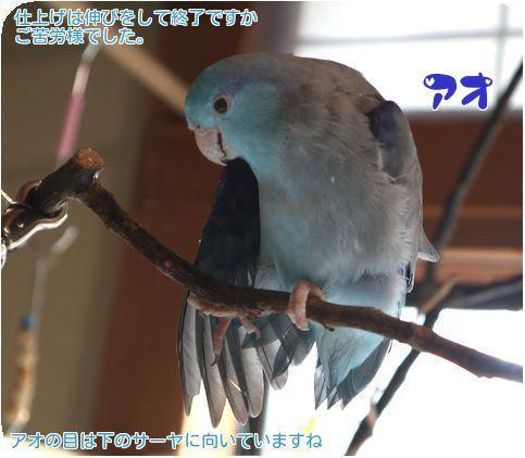⑧アオ羽繕い