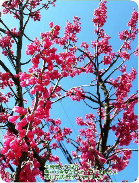 ⑥寒緋桜開く