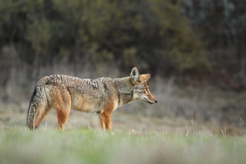 jared_hughey_coyote_1.jpg