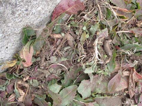 ギシギシの根