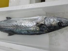 サワラ2018128