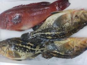 コブ鯛・シマゾイ20190216