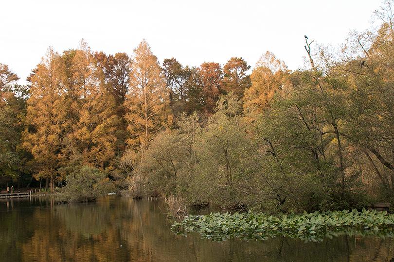 カラスとコウホネの風景M0H7A9708