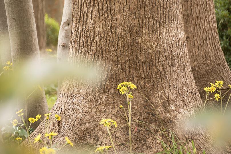 クスノキとつわぶきの花0H7A8903