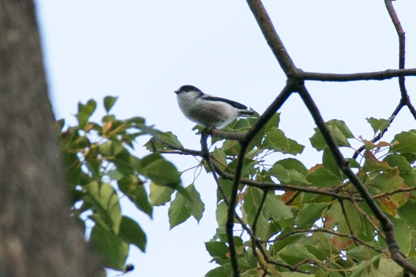 エナガ幼鳥0H7A9918