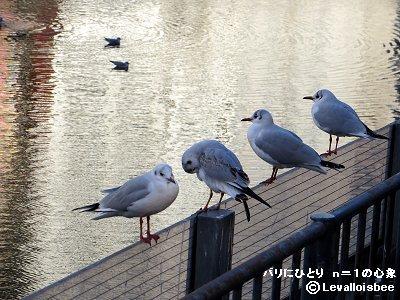 幸川のフェンスに水かきで止まって毛づくろい器用ですdownsize