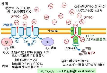 プロトンの流れでATPを製造