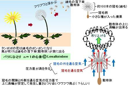 タンポポの綿毛の落下傘(散布体)は渦輪でフワフワ浮かぶ