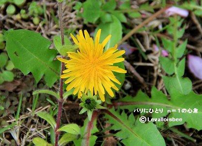 庭のタンポポの花REVdownsize