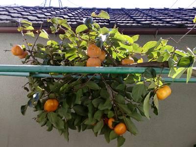 柿の枝取り?