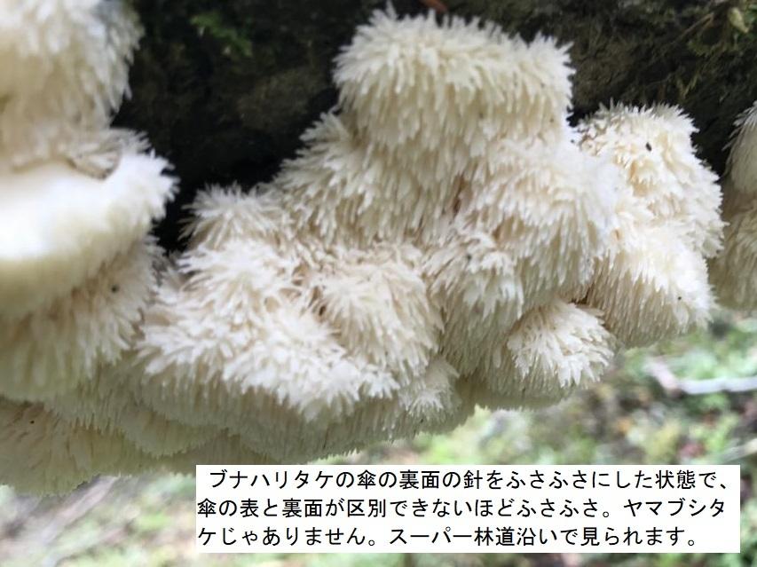 ブナハリタケの近縁種
