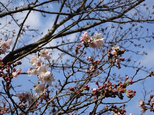 20190321 桜開花