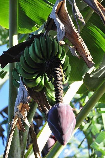 banana01