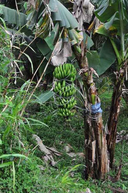 banana03