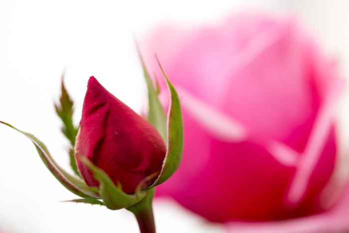 rose20181030-1936-2.jpg