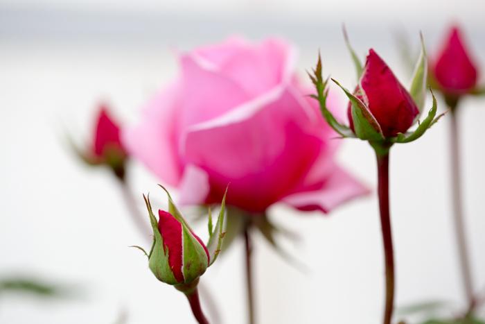 rose20181030-1943.jpg