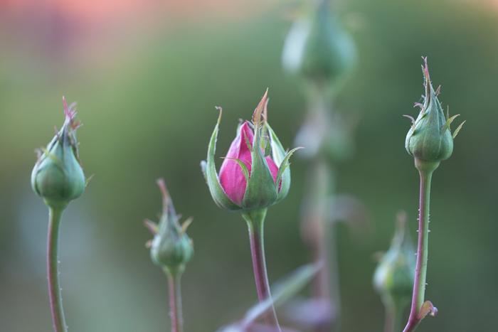 rosey20181014-1651.jpg