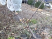 ロウバイの花芽