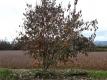 平核無柿の木