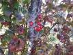 サンシュユの赤い実