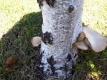 白樺の木にキノコ