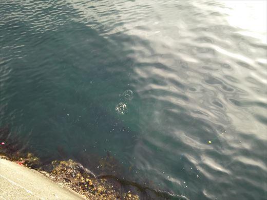 白灯台堤防で釣り (19)