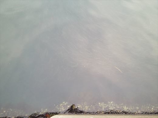 白灯台堤防で釣り (26)