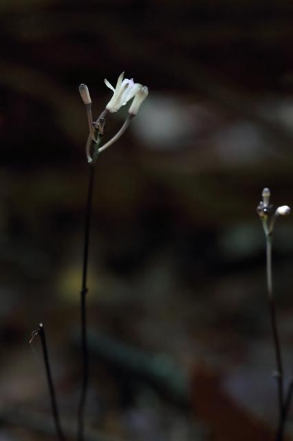 トサノクロムヨウラン(土佐の黒無葉蘭)