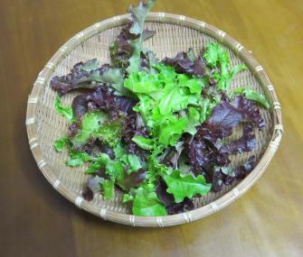 ミックスレタス収穫物