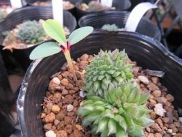 ■ユーフォルビア・噴火竜・ピグエリー(Euphorbia viguieri)~勝手にアチコチ飛び散りこぼれタネ発芽(^-^)育っています♪2018.10.21