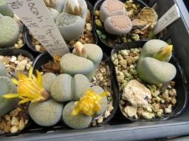 リトープス・碧瑠璃系(Lithops terricolor)、黄底白花、細かい斑点模様灰緑色~開花中♪2018.10.22