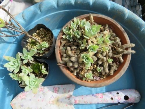 アチコチたくさんある、オロスタキス・大型岩レンゲのこぼれ種実生苗~抜いてプランターに植え付けます。2018.10.24