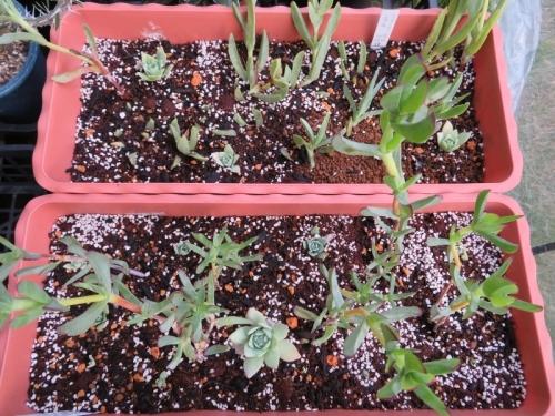 オロスタキス・大型岩レンゲのこぼれ種実生苗~プランターに植え付けました。2018.10.24