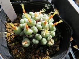 コノフィツム・トルンカツム系?ピールシー系?(Conophytum truncatum)(2018.10.28