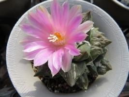 アリオカルプス・岩牡丹×ロゼオカクタス・亀甲牡丹の交配雑種?ピンクの花が咲きました。2018.11.02