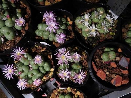 コノフィツム・フィシフォルメ(Conophytum ficiforme)(夜咲ピンク花、昼夜咲き白花)2018.11.06