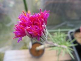 塊根性セネシオ(Senecia sp)美紫ピンク花開花2018.11.12