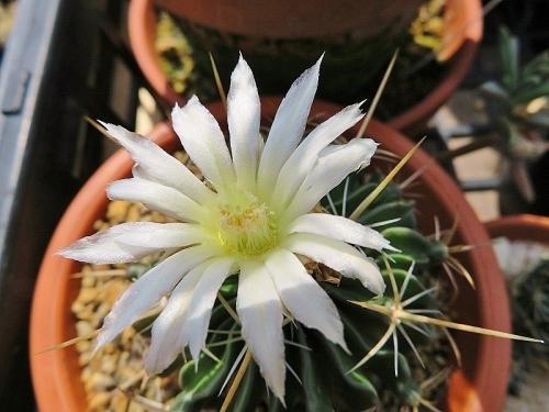 エキノフォスロカクタス(Echinofossulocactus)白花~2018.03.29