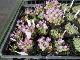 コノフィツム・フィシフォルメ(淡いピンク花)遅咲き夜咲ですが、午前9時半過ぎでも開いています♪2018.11.16