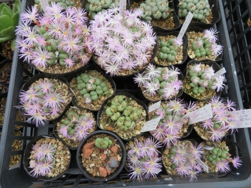 Conophytum ficiforme(コノフィツム・フィシフォルメ)午前9時44分開花2018.11.22